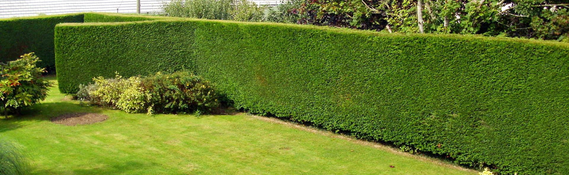 burnaby-hedge-trimming-service